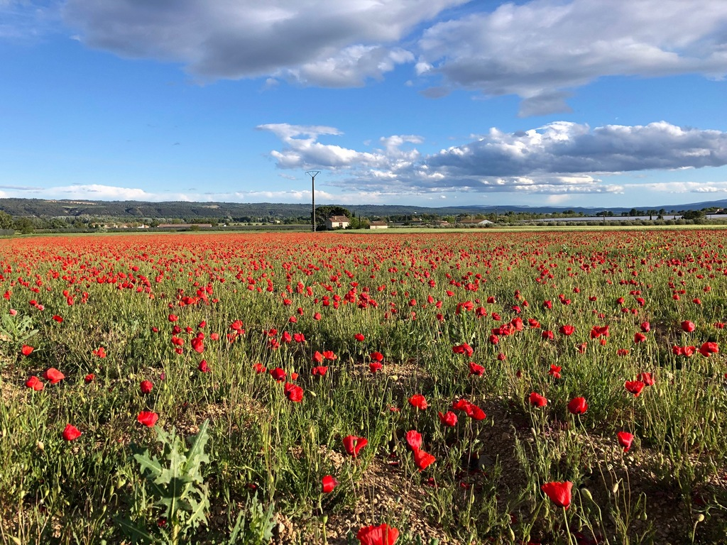 fields of poppies (April and May)