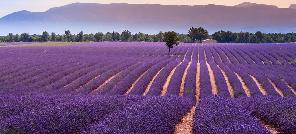 Lavenders in Valensole (July)