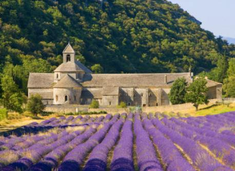 Luberon countryside : lavender fields