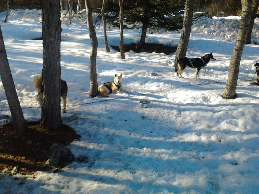 une promenade avec des chiens de traineau ?