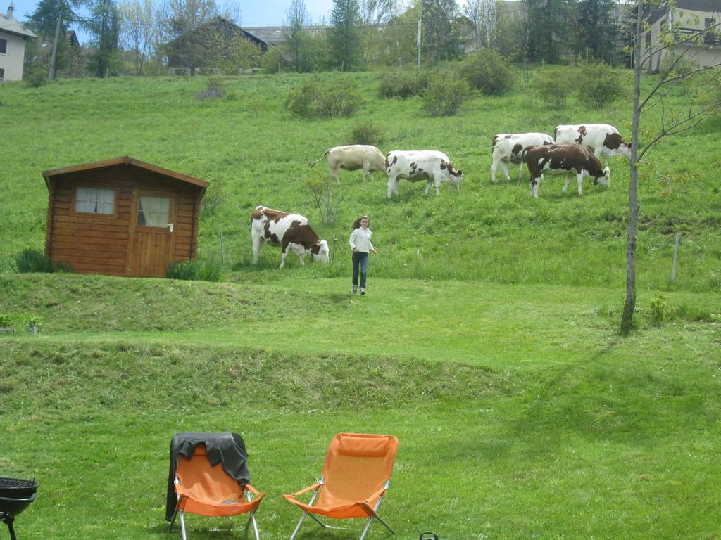 les vaches au printemps