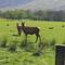 Red deer in Lochranza