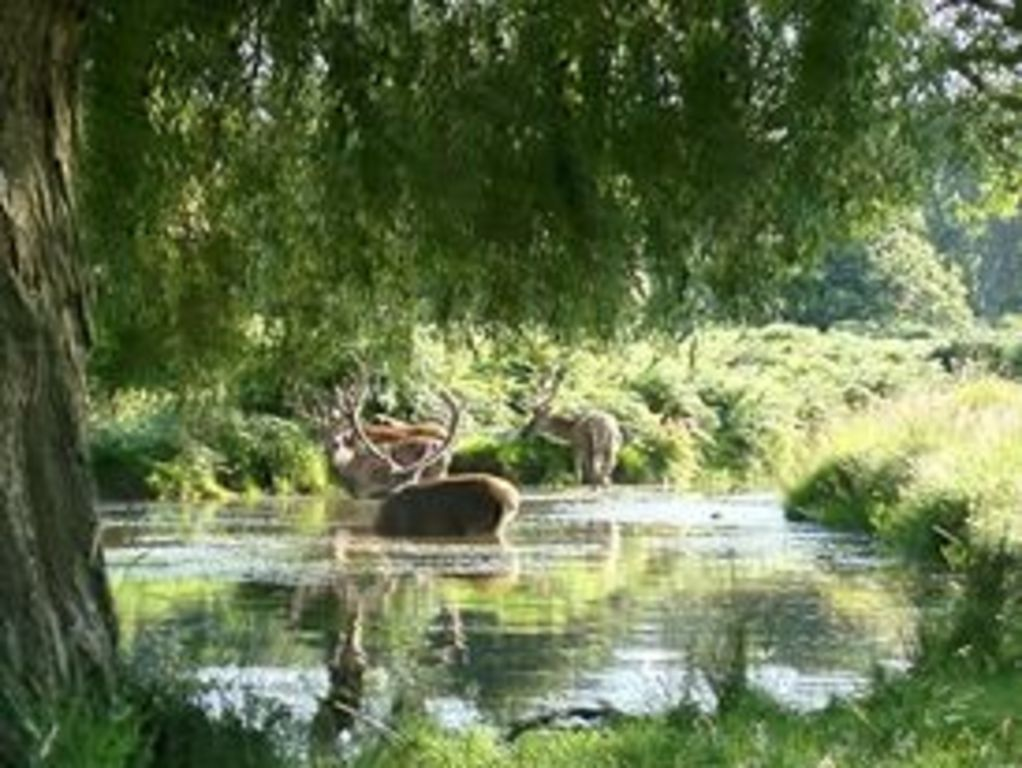 Deer in Richmond Park - I came across then having a wallow last summer!