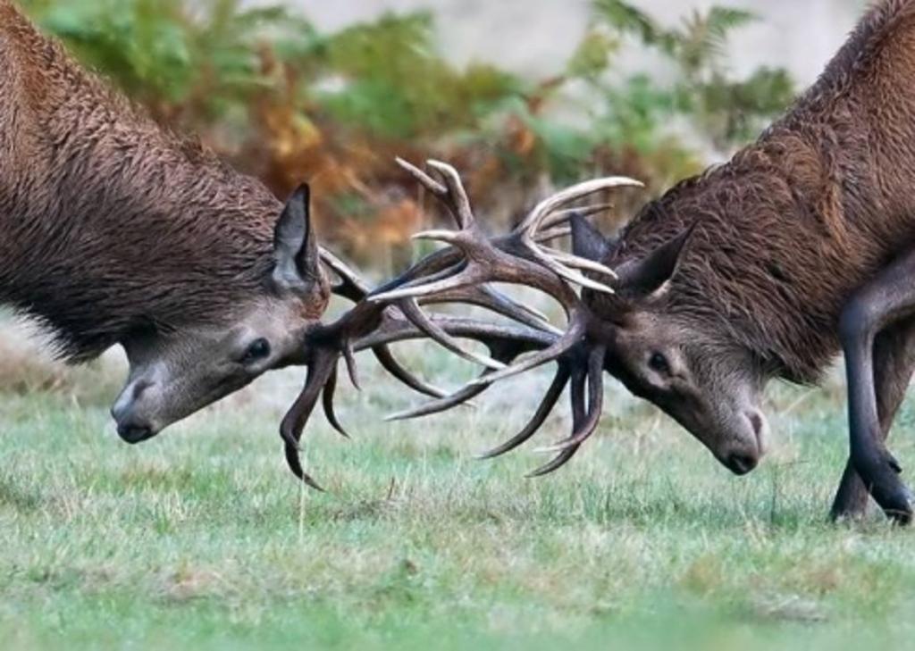 Rutting Red Deer at Westleton Suffolk