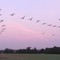 Depending on the time of year Geese regularly fly over our home from nearby Barton Mere, see map. Mobile camera photo so not ...
