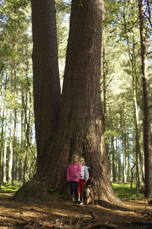 The King Tree, Muirward Wood, Scone - the biggest Scots pine in the UK