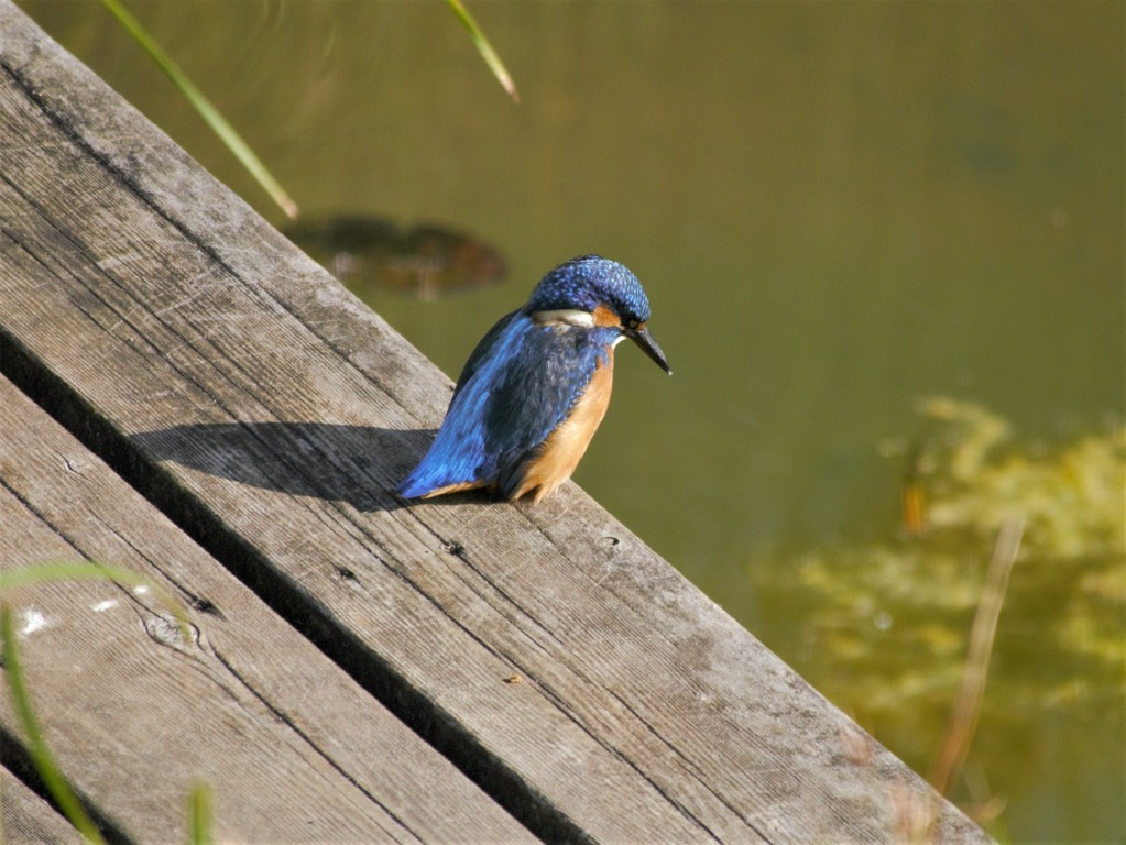 Kingfisher fishing in the pond