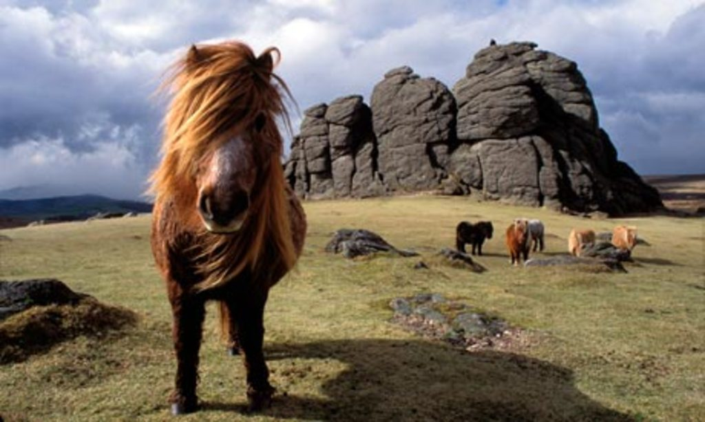 Dartmoor and wild ponies