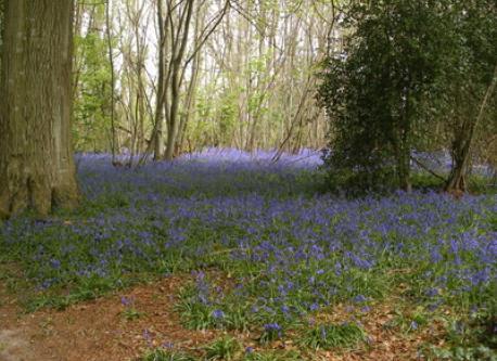 Bluebell woods near Chichester.