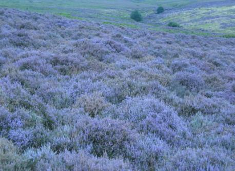 Heather in flower on the North York Moors