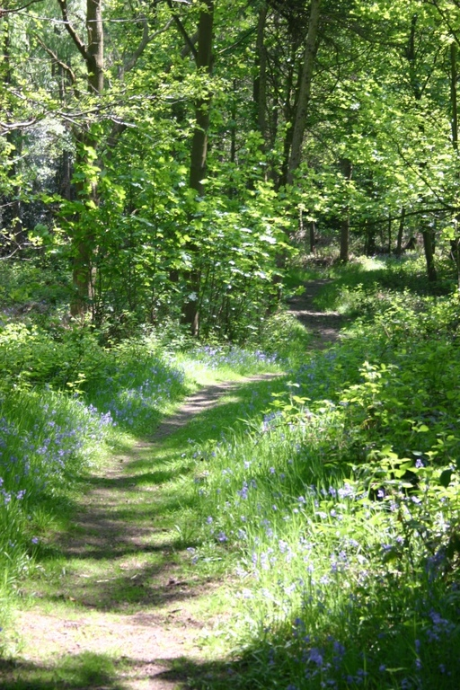 Many local woods are full of bluebells in spring