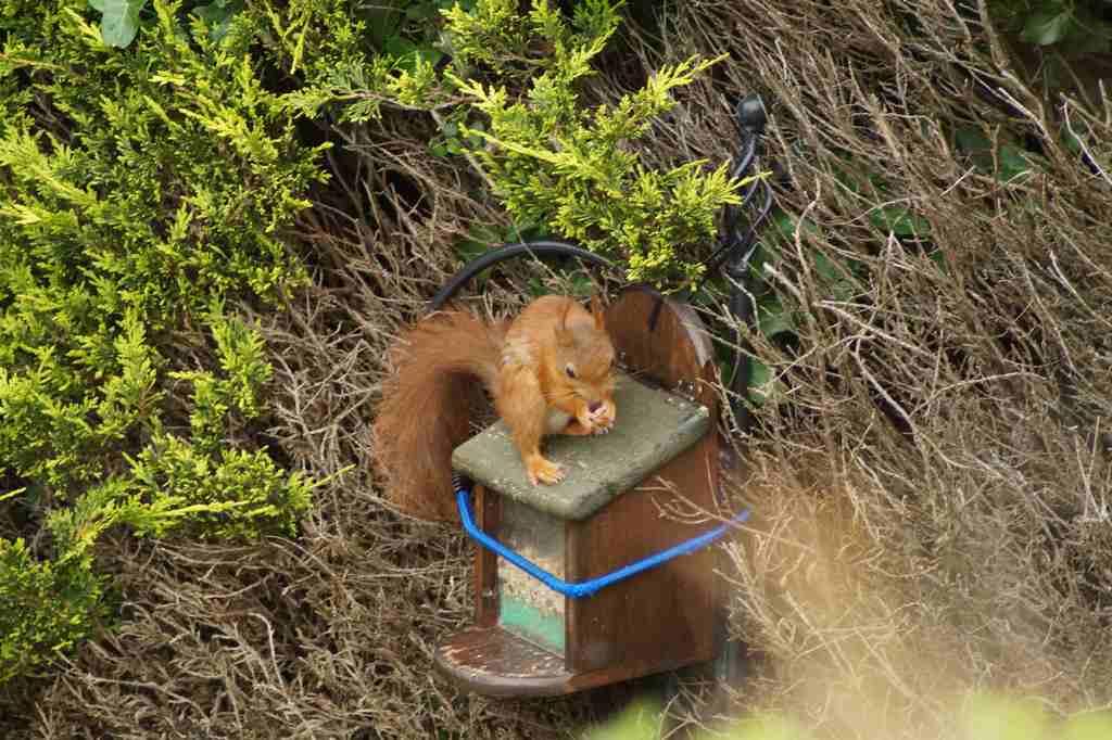 Red squirrel in garden
