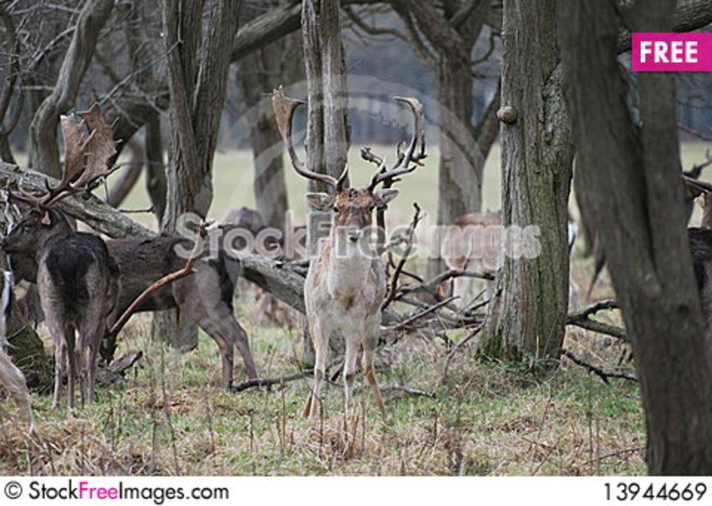Deer roam freely in Pheonix Park