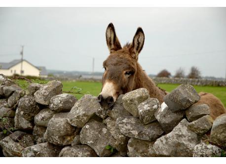 Connemara donkey