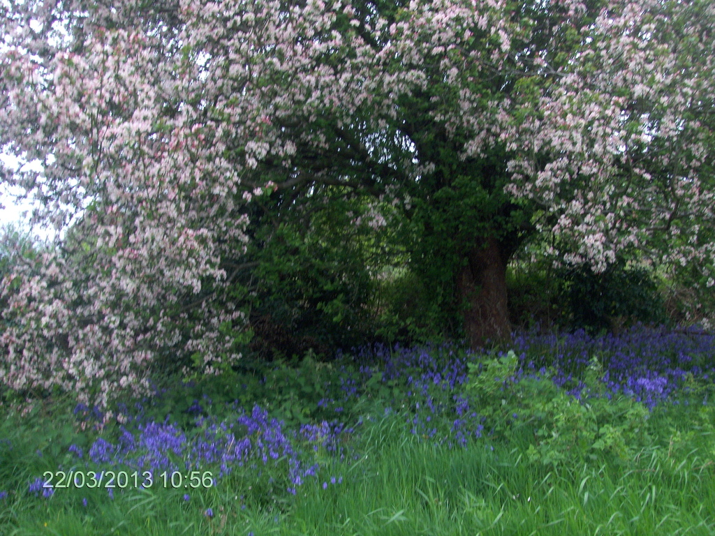 A close up view of crab apple tree and bluebells underneath.