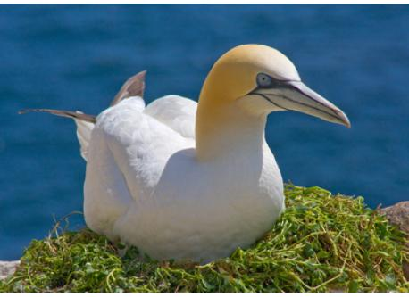 Gannet hatching egg on Great Saltee Island