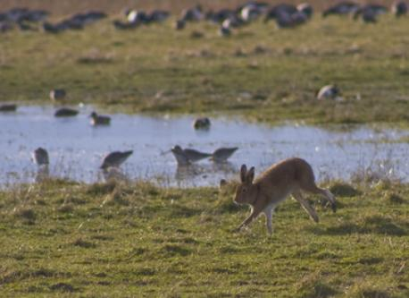 Hare at wexford Wildfowl Reserve