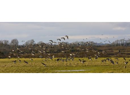 Brent geese landing at Wexford Wildfowl Reserve