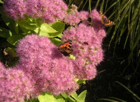 Butterflies love the sedum
