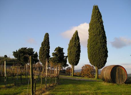 Tuscan cypresses near our home