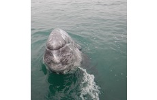 This wild grey whale calf was so friendly, he came to us for pets!