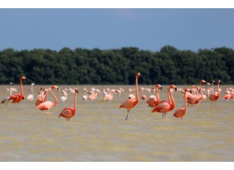 Pink Flamingos in the Celestun Ria