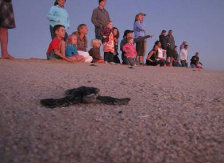Help save the turtles by helping with hatchling releases.