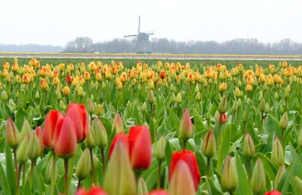 tulipes from Holland in spring.