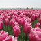 The area of Emmeloord is well known for its beautiful tulips