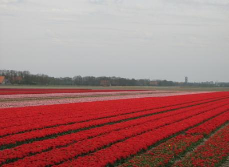 Emmeloord area have the most and biggest tulip fields of NL. During spring time our polder is very colorful. At the back Emme...