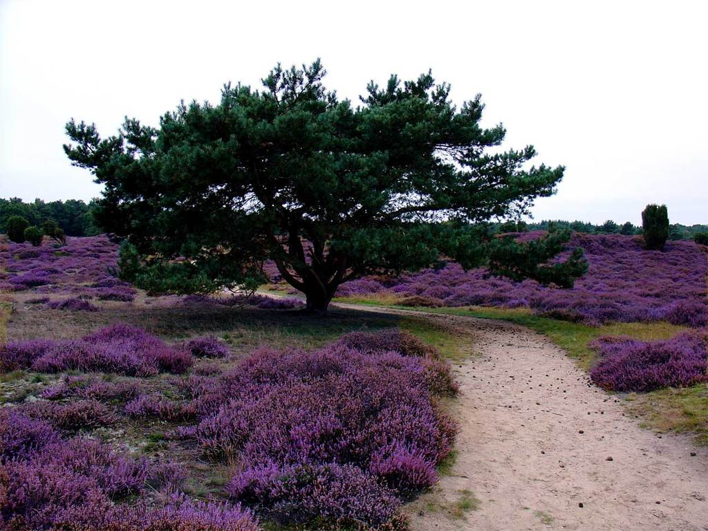Drouwenerzand (1km) one of the many fields of heather in the vicinity