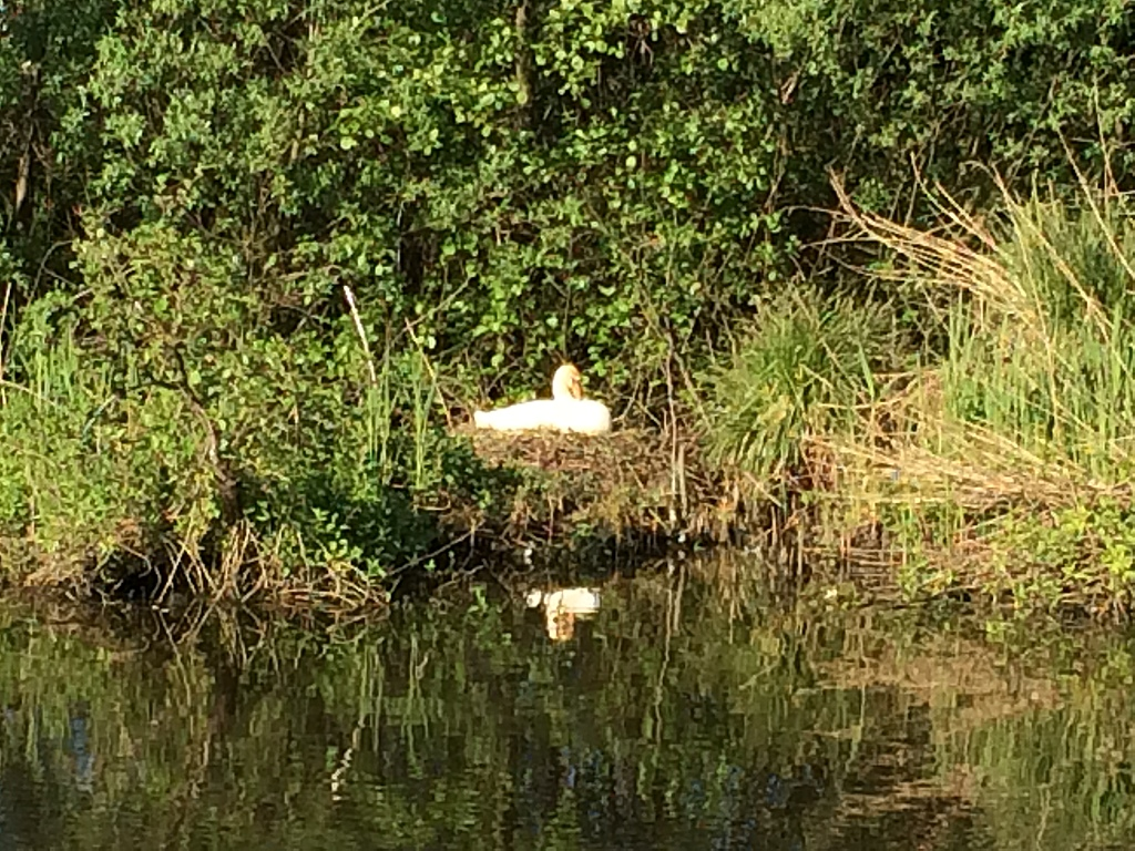 Lots of swans and other bird life in our area