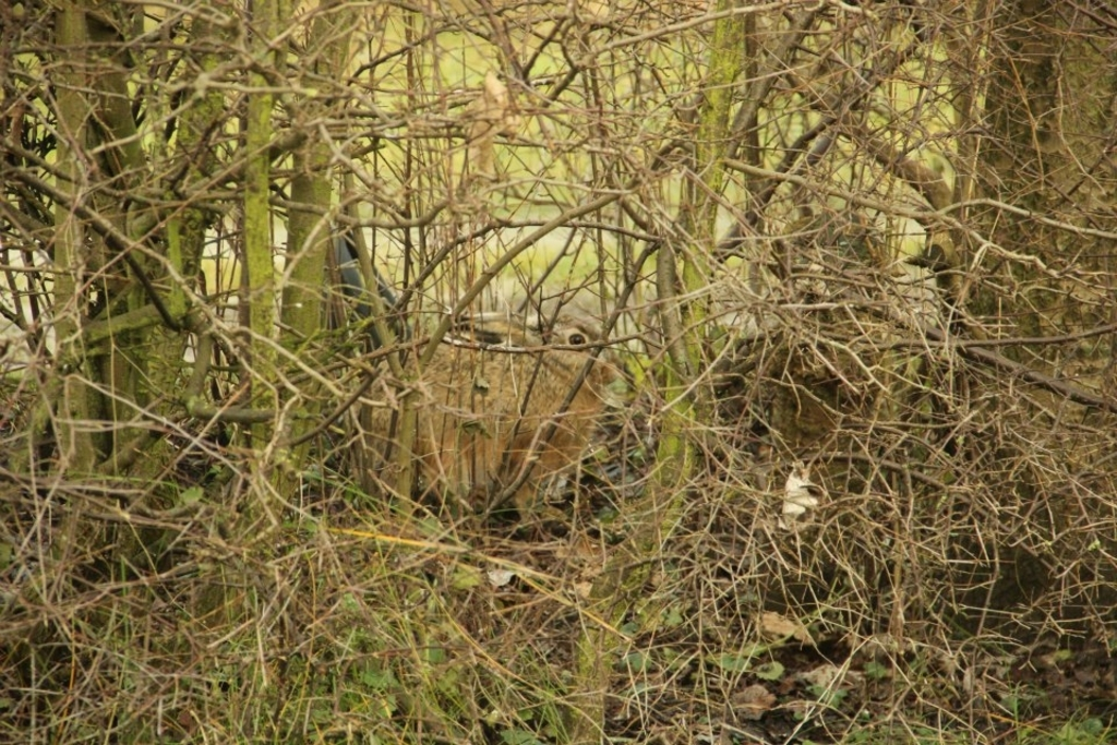 Hare hidden in the bush, photo made from whitin the house.