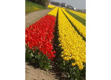 tulipsfield