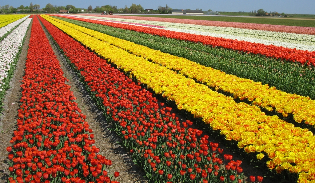 Flowering bulb fields in April