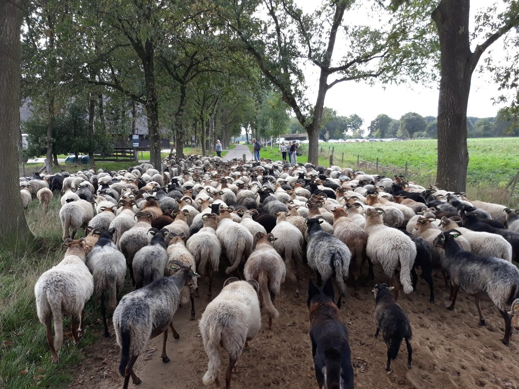 COUNTRYSIDE: Walk with the sheep and the herder to the shell