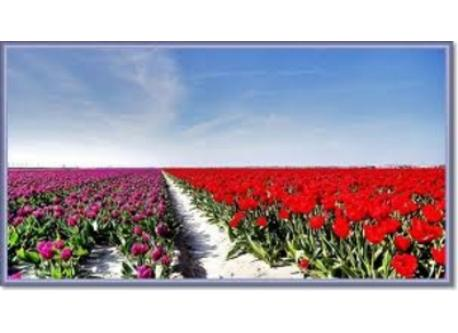 Famous Dutch tulip fields