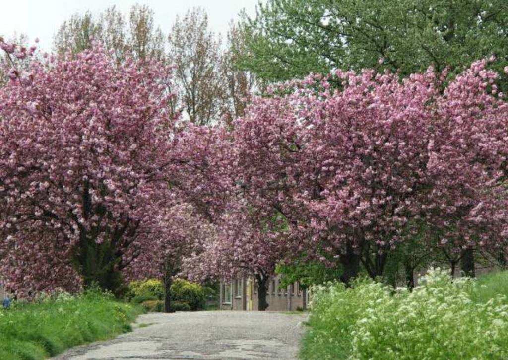 Blossom in De Betuwe