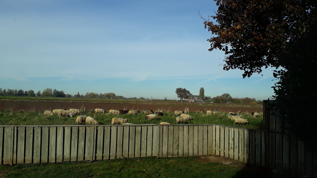 sometimes there are sheep grazing besides our garden