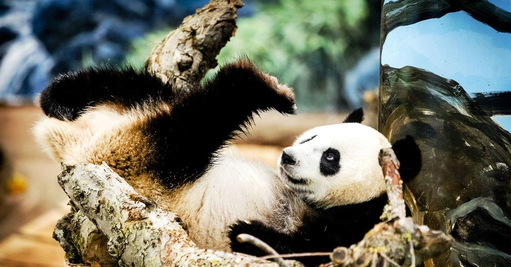 2 big panda's and recently a baby panda in Ouwehand Zoo Rhenen - 12 km / 20 min