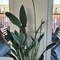 Our big paradise bird plant