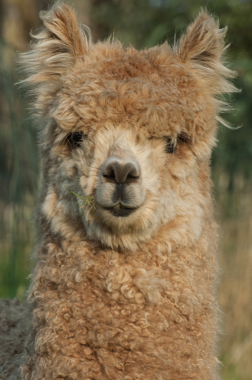 Our alpaca Casimir