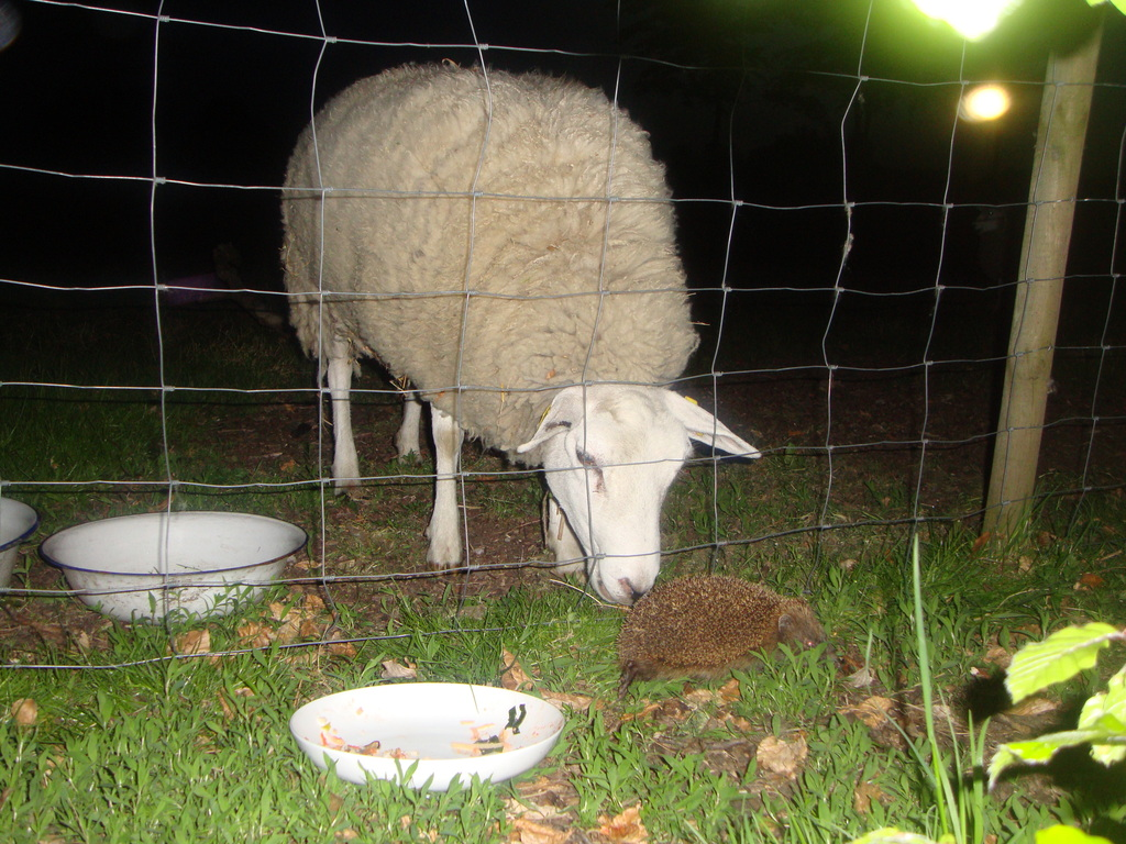 our sheep plus other friend