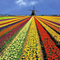 Tulip fields in april/may/june