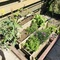 Kitchen garden with vegetables & herbs available for your to take as much as available