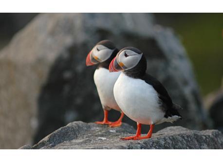 Birds on the island of Runde