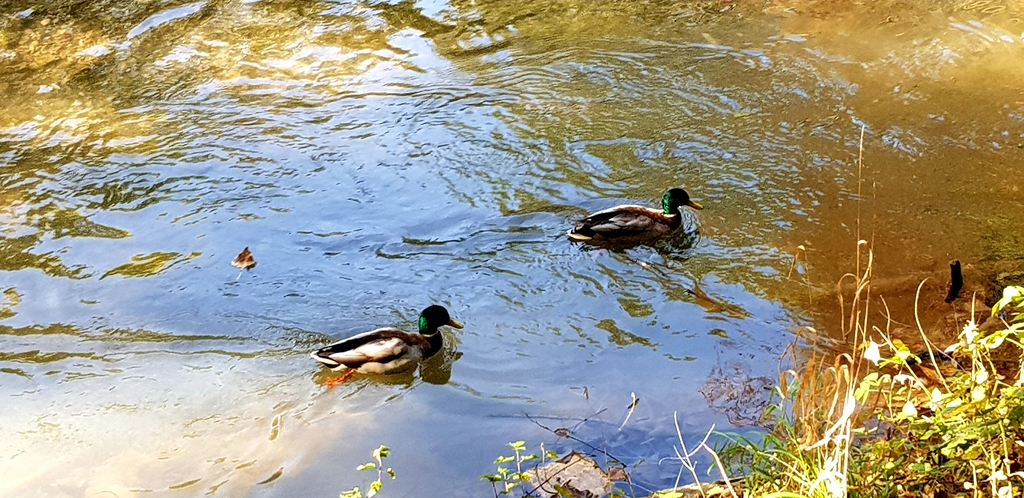 Ducks in the park next door