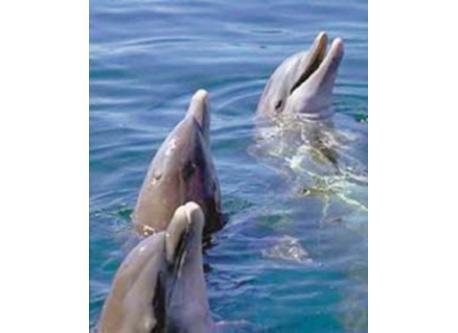 Dolphins - River Sado