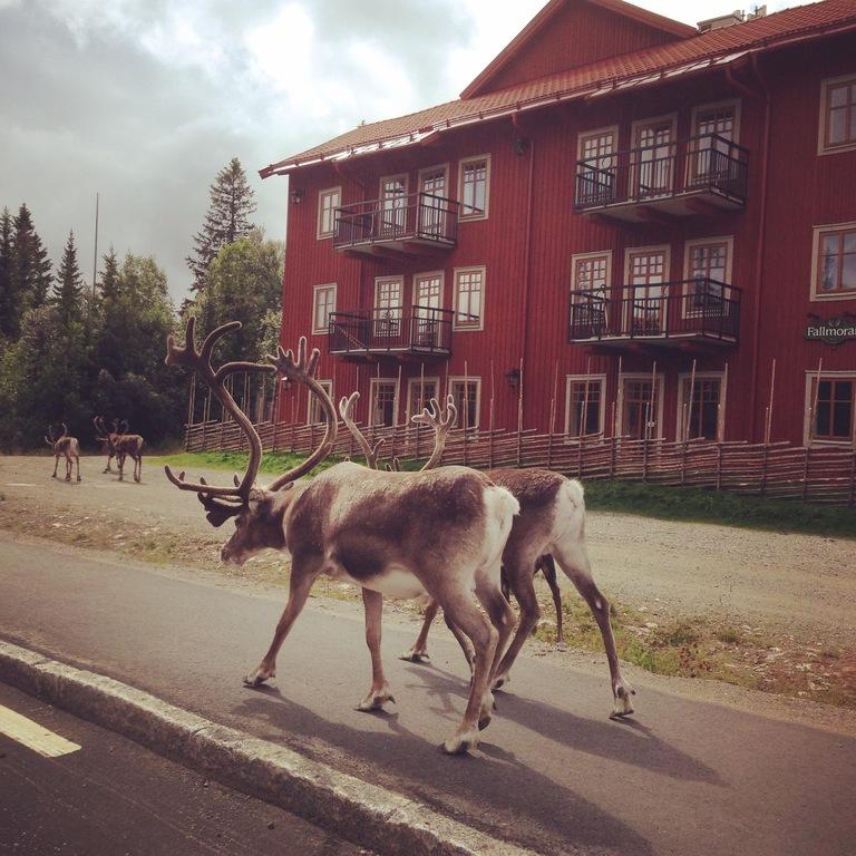 Reindeers in Vemdalen