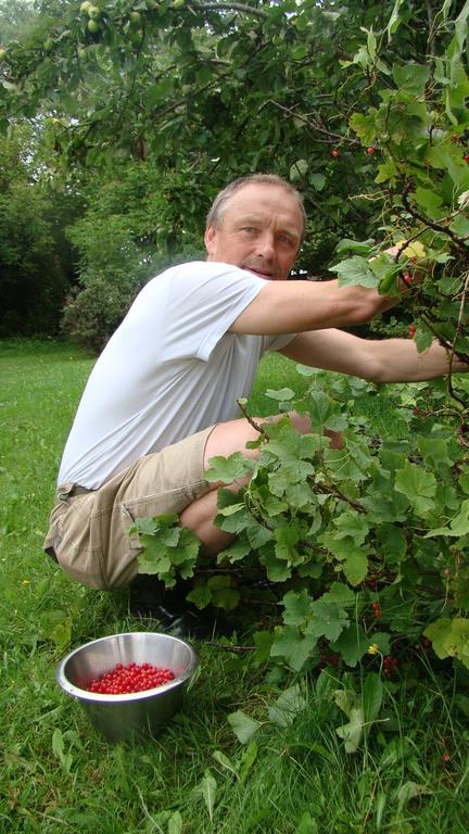 Öland. Gert picking red currants in the garden.